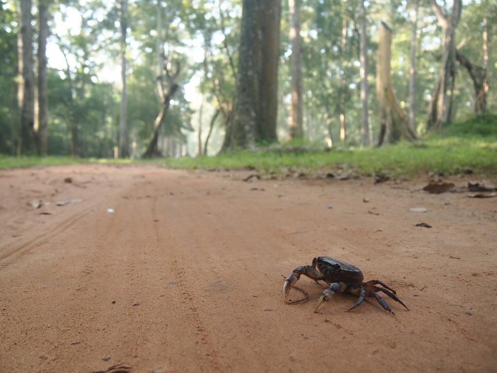 道端に野生の蟹がいるような道