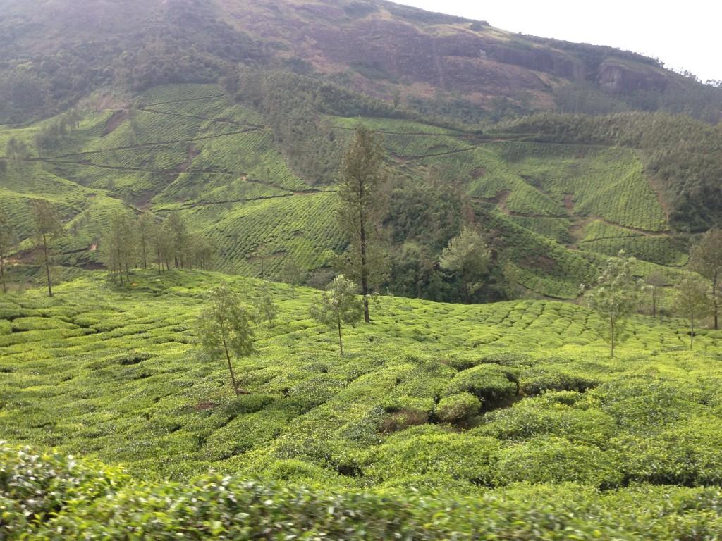ムナール 茶畑 プランテーション