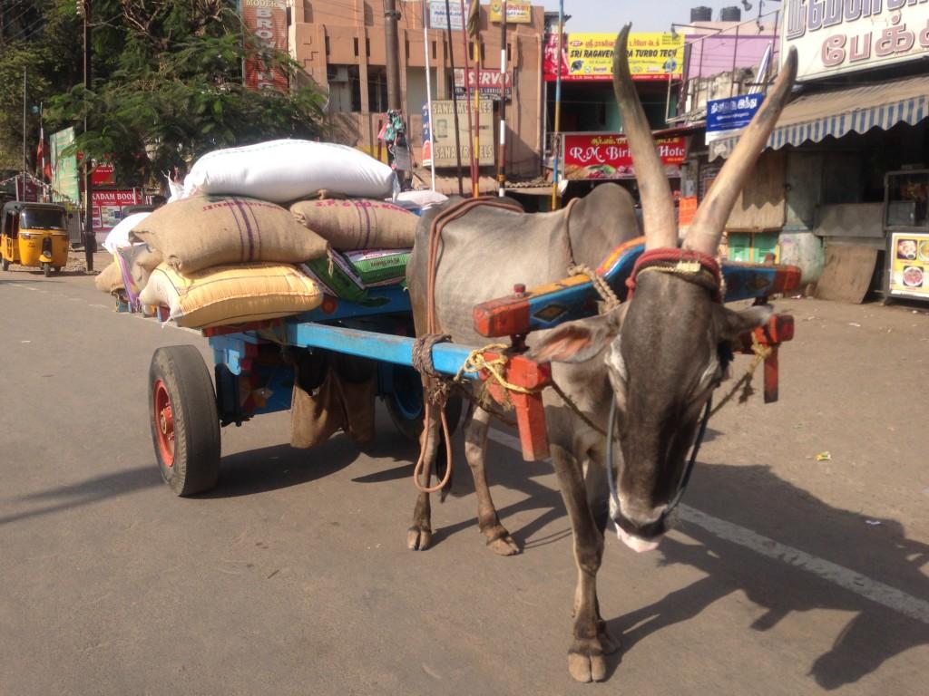 牛 かっこいい インド