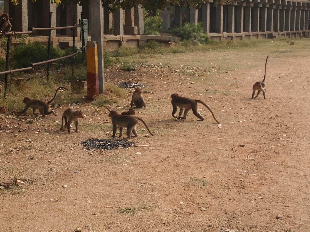 インド ハンピ村 猿 いっぱい